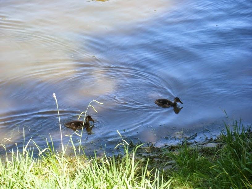 Os Patos da Praia Fluvial do Alamal