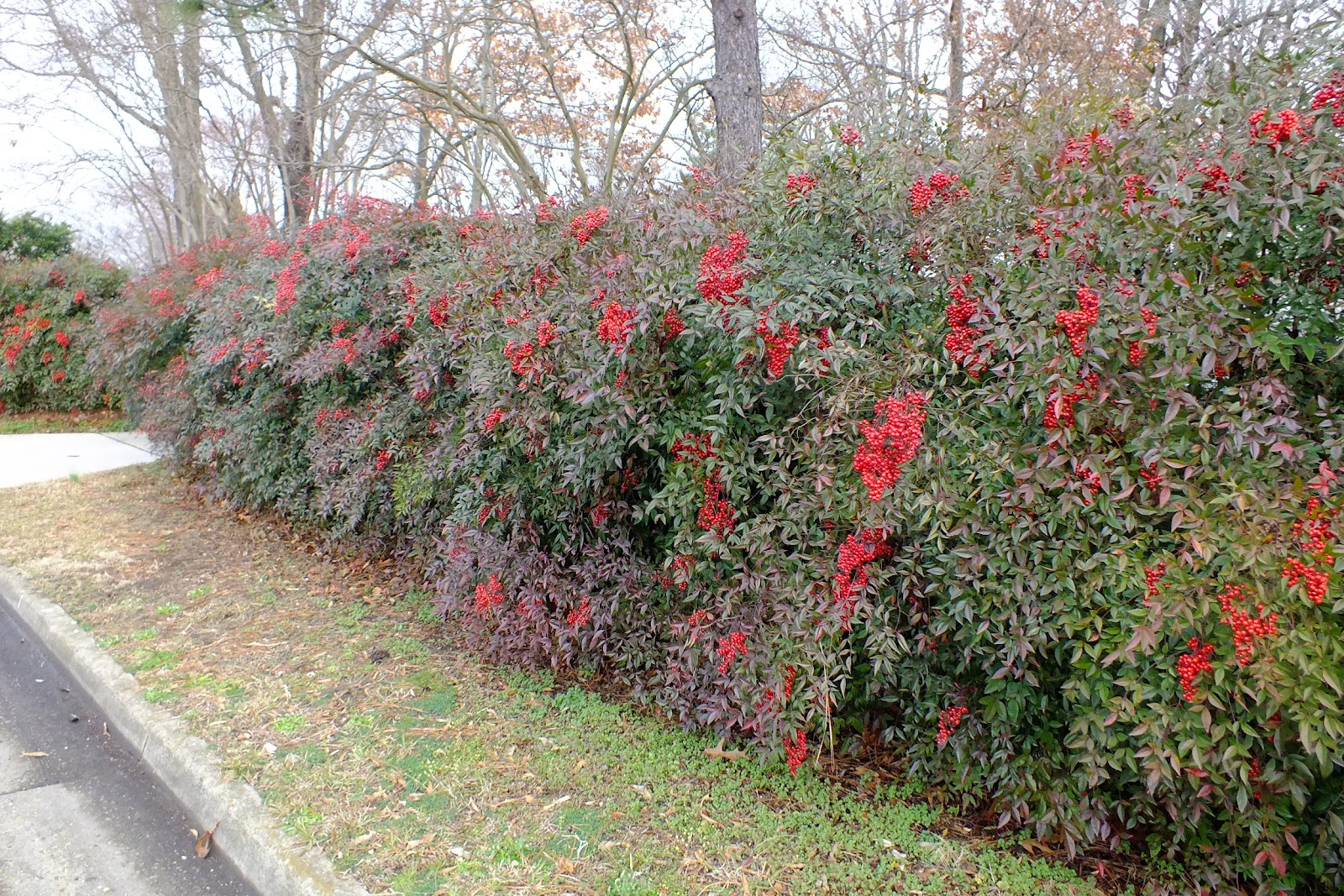 Nandina Hedge The Yard Pinterest Side Garden