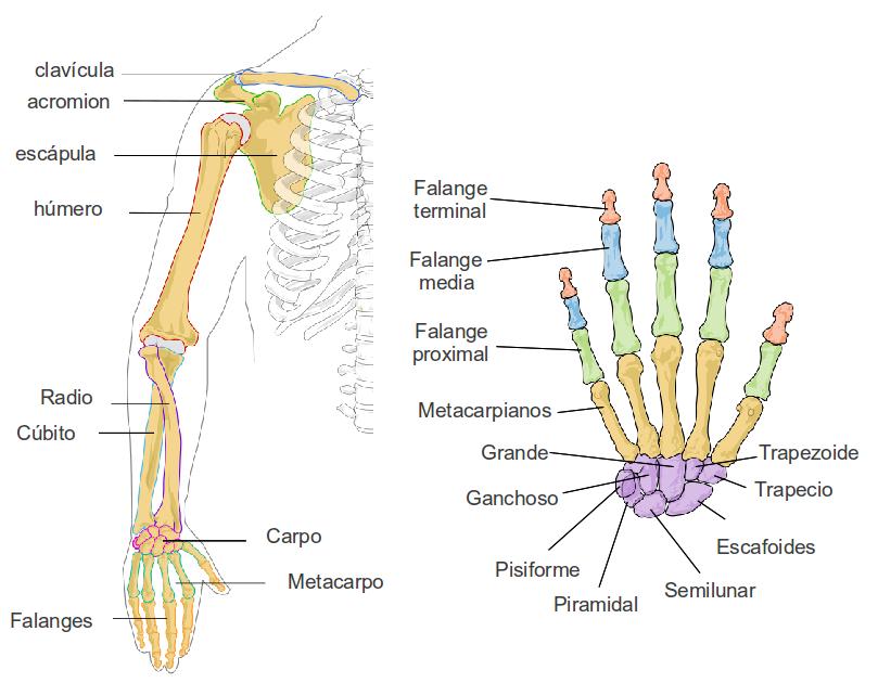 Fantástico Anatomía De Las Extremidades Festooning - Anatomía de Las ...
