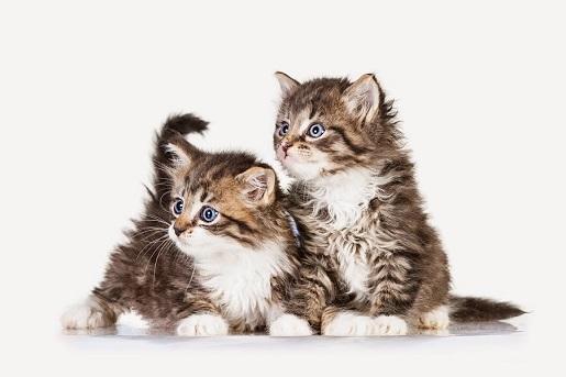 Czy warto przygarnąć drugiego kota?