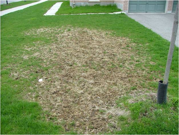 how to tell if you have grubs in your lawn