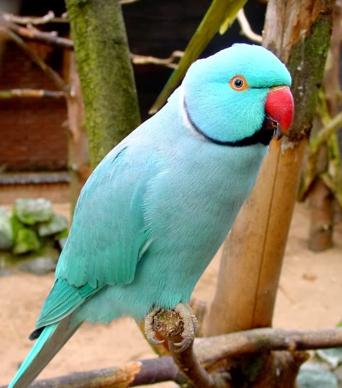 Rose Pinged Parakeet