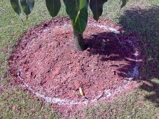 Cara Memupuk Pohon Mangga yang Tepat - Trik Buah
