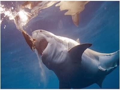 Ikan Hiu Terbesar Di Dunia
