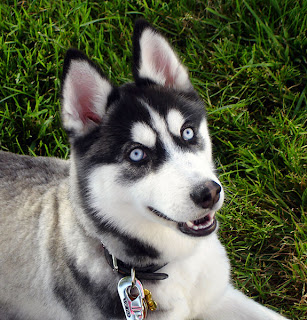 siberian husky dog pets puppy puppies picture species breeds