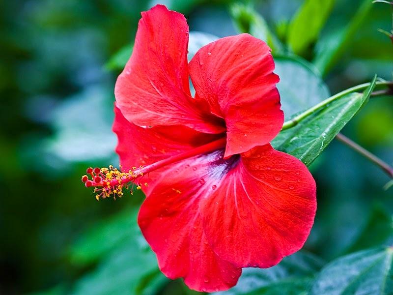 Bài thuốc trị bệnh sỏi thận bằng hoa dâm bụt