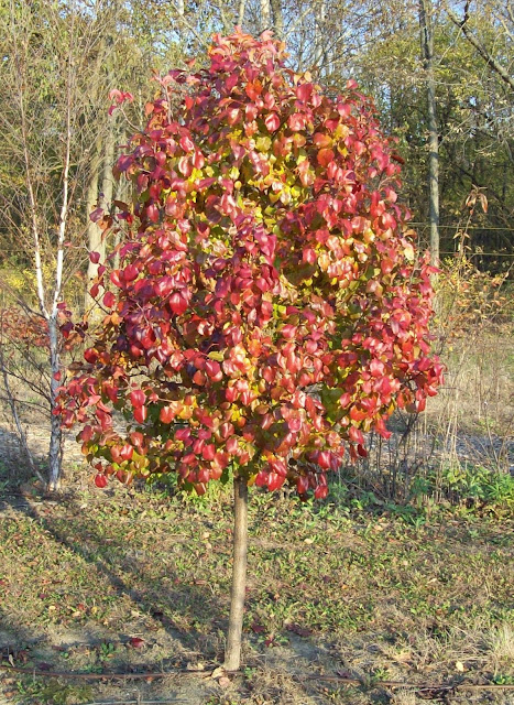 Autumn Blaze Pear4
