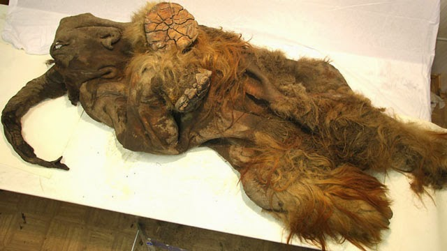 Δείτε φωτογραφίες από το μαμούθ που βρέθηκε στην Σιβηρία