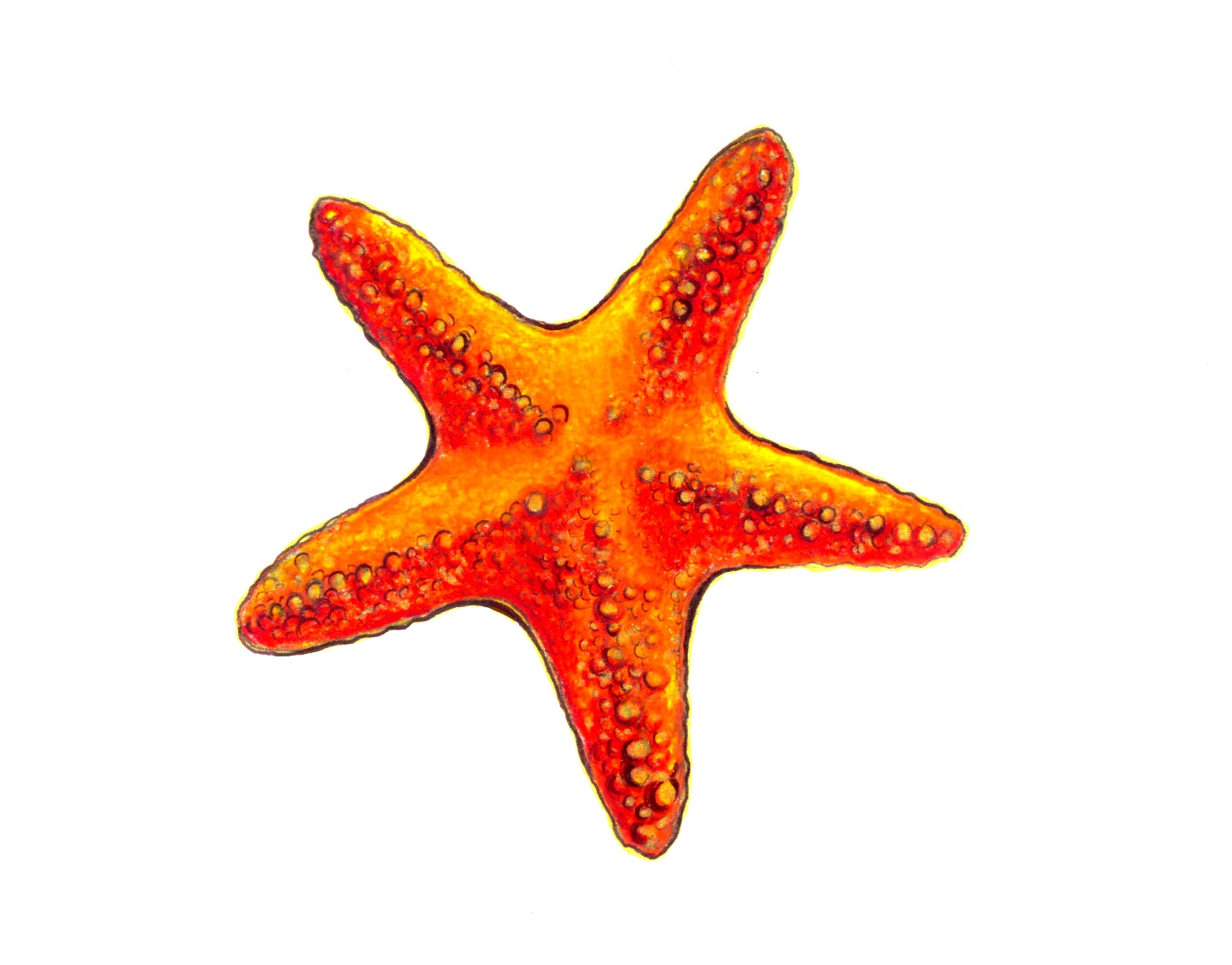Uncategorized Star Fish Drawing december 9 2011 starfish a drawing day for year starfish