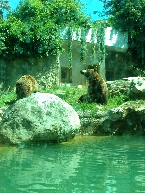 Bioparco brown bear