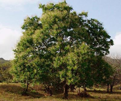 espavel Anacardium excelsum