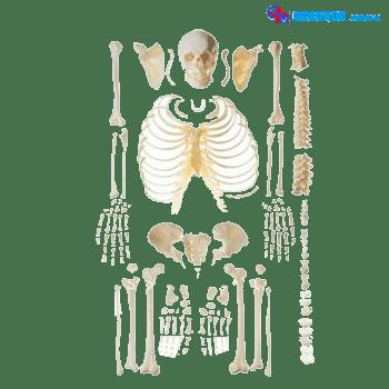 boneka manekin tulang tengkorak manusia