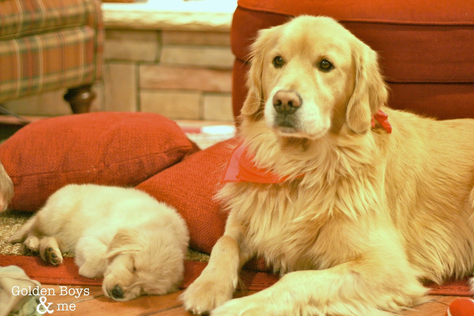 Golden Retriever puppy and adult Golden-www.goldenboysandme.com