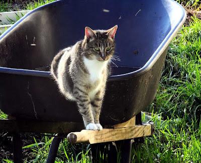 tabby cat Widget on Wheelbarrow