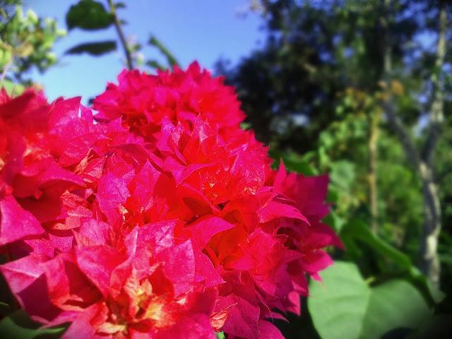 Bunga Merah Merona