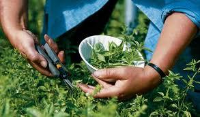 Branje ljekovitog bilja