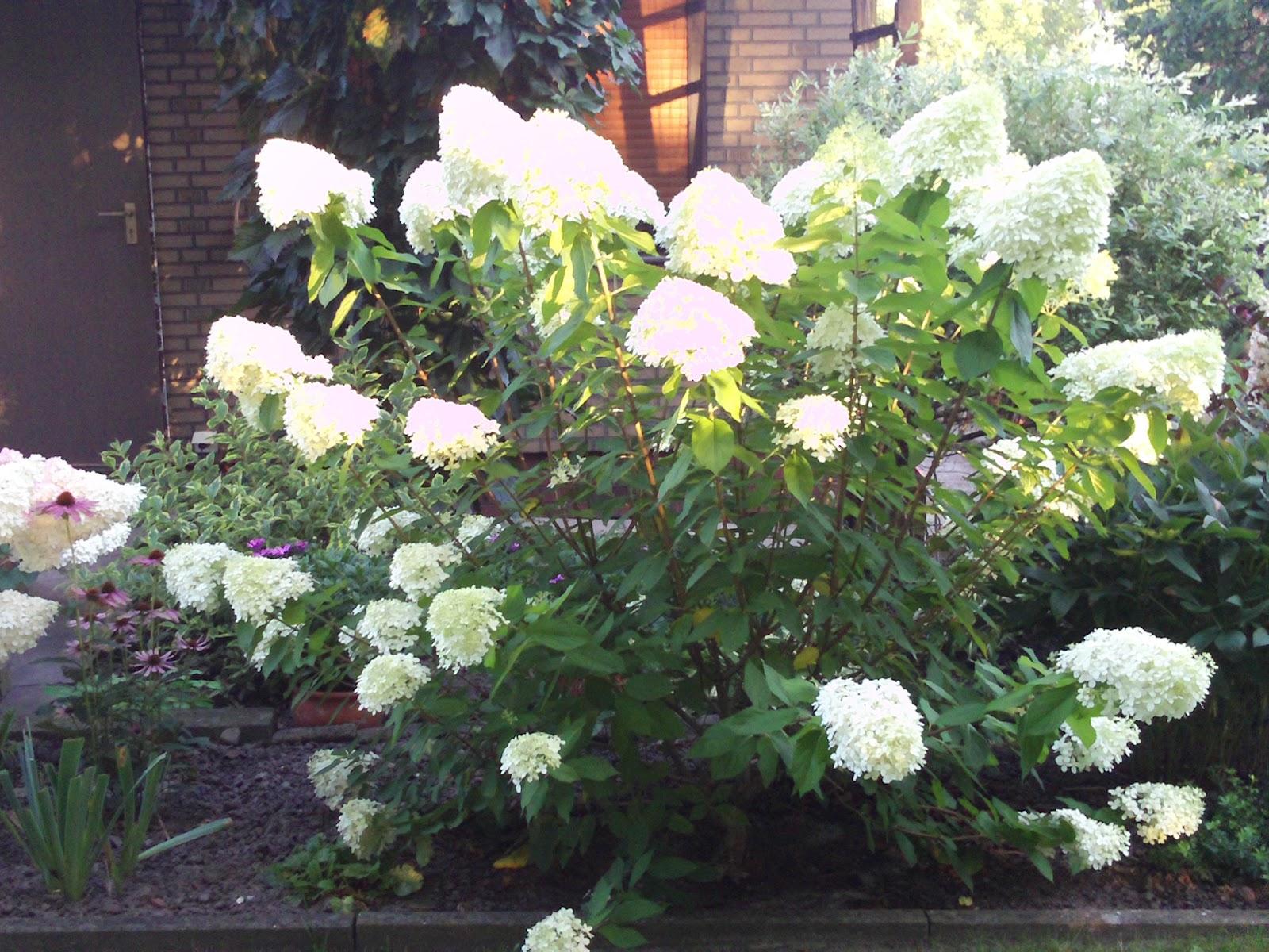 hydrangea paniculata rispenhortensie habitus gartenelfe. Black Bedroom Furniture Sets. Home Design Ideas