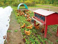 Cara Memberi Pakan Ayam Kampung Yang Baik Dan Benar