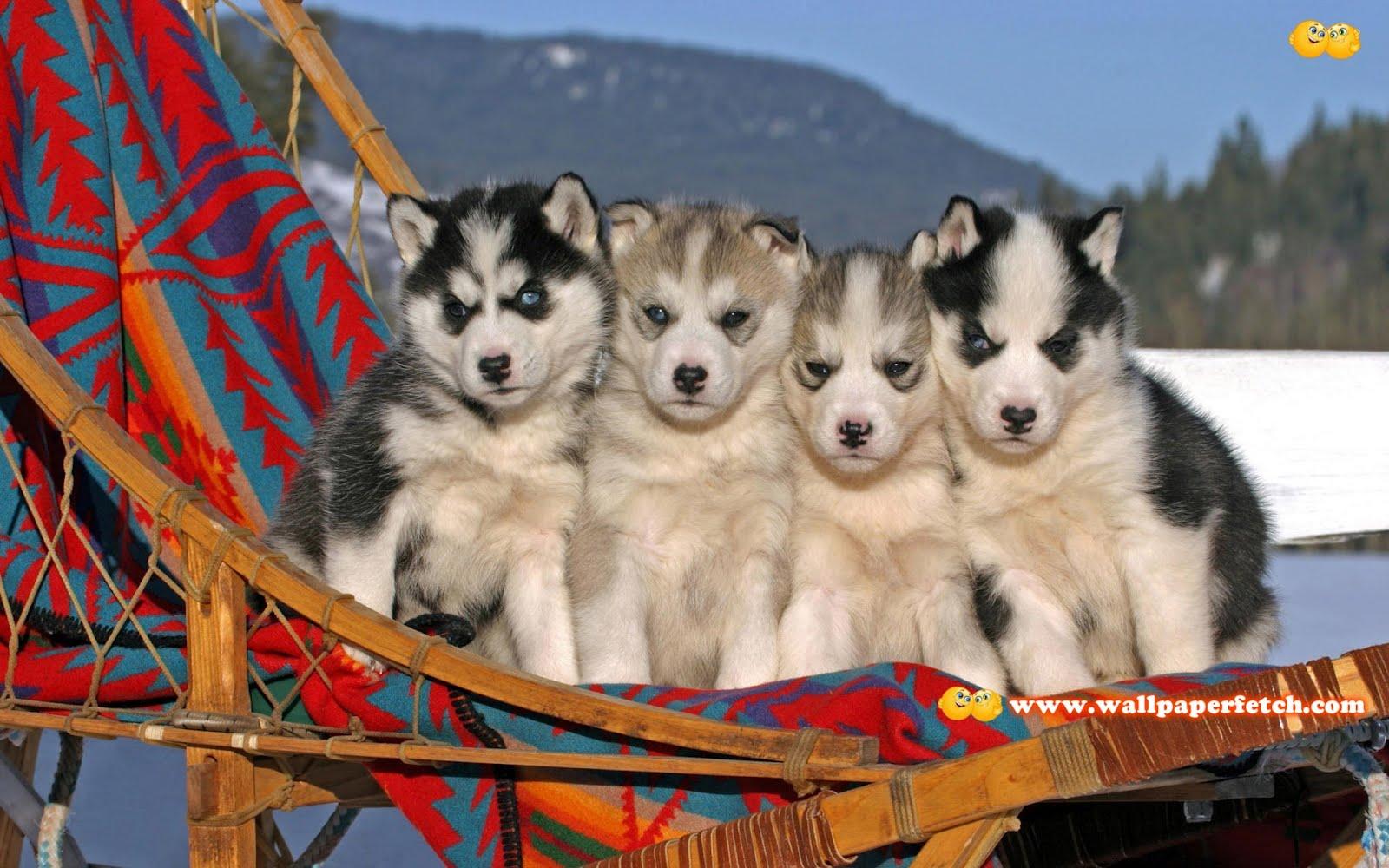 http://4.bp.blogspot.com/-9BiaHfPIRfk/T1oCq92Y1YI/AAAAAAAAA4Q/gqGsAbiGKac/s1600/husky-puppies-5072-1920x1200.jpg