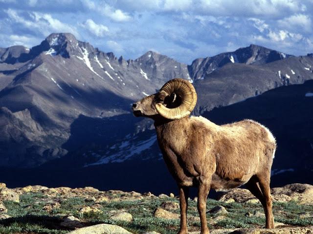 Sheep-animal