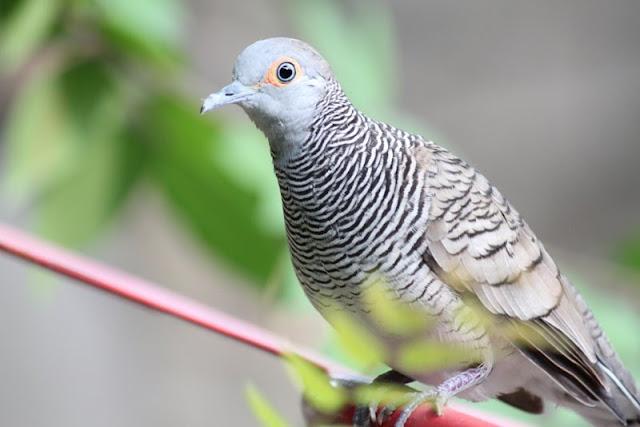 burung perkutut kesayangan