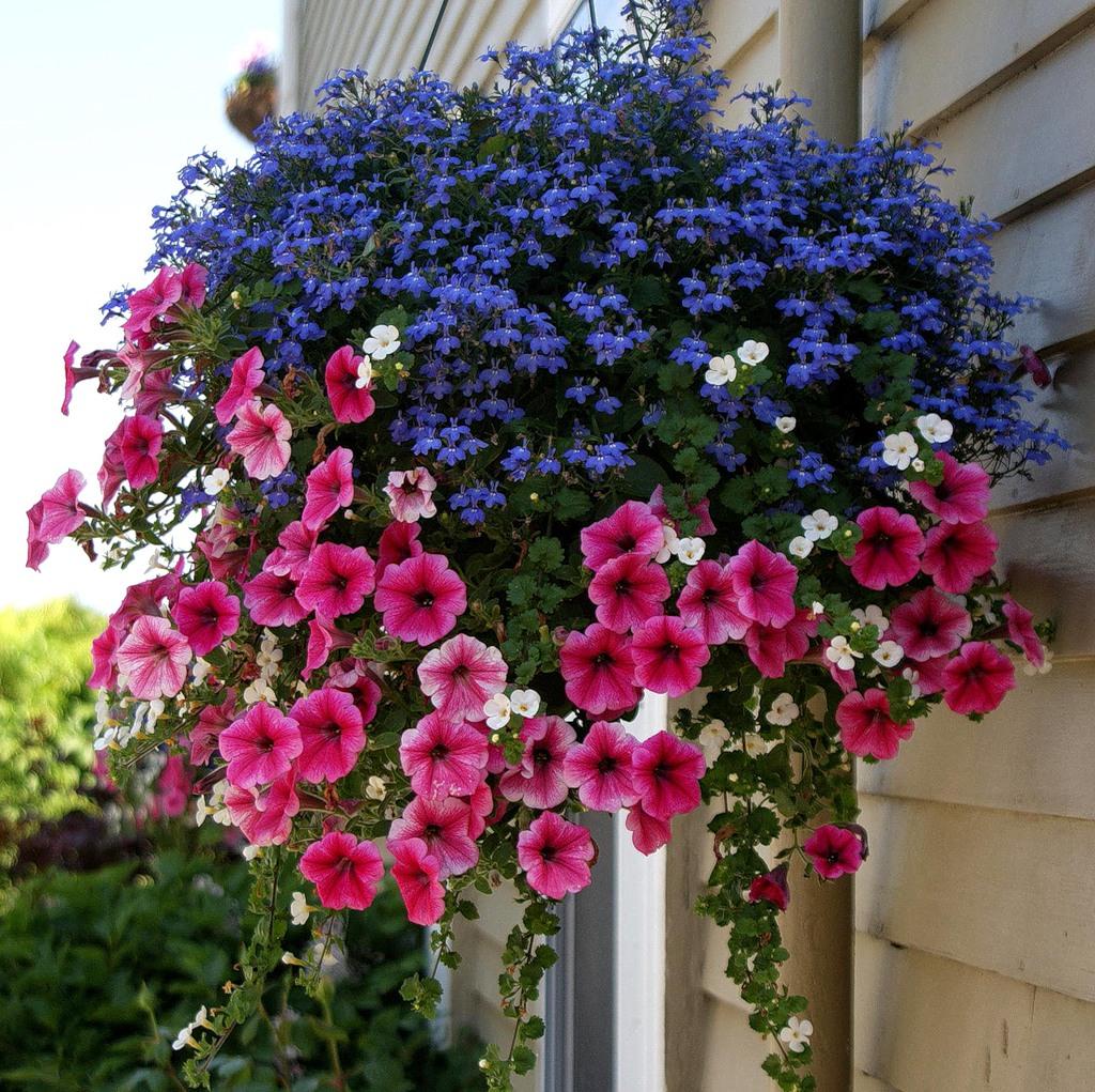 Цветок лобелия ампельная садовый портал новости сада, огород.