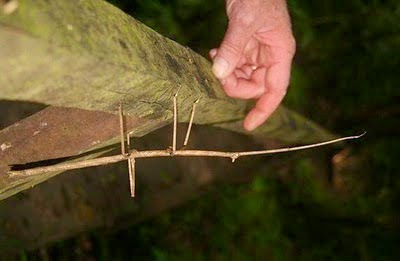 Serangga paling panjang