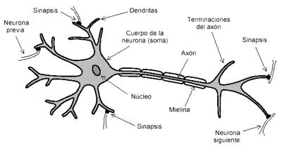 Grafico de la neurona del ser humano y sus partes