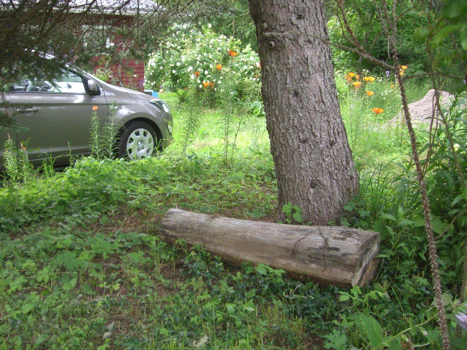 Vuodelta 2012 nurmikolla muhinut jalavanpätkä siirtyi kuusen alle.