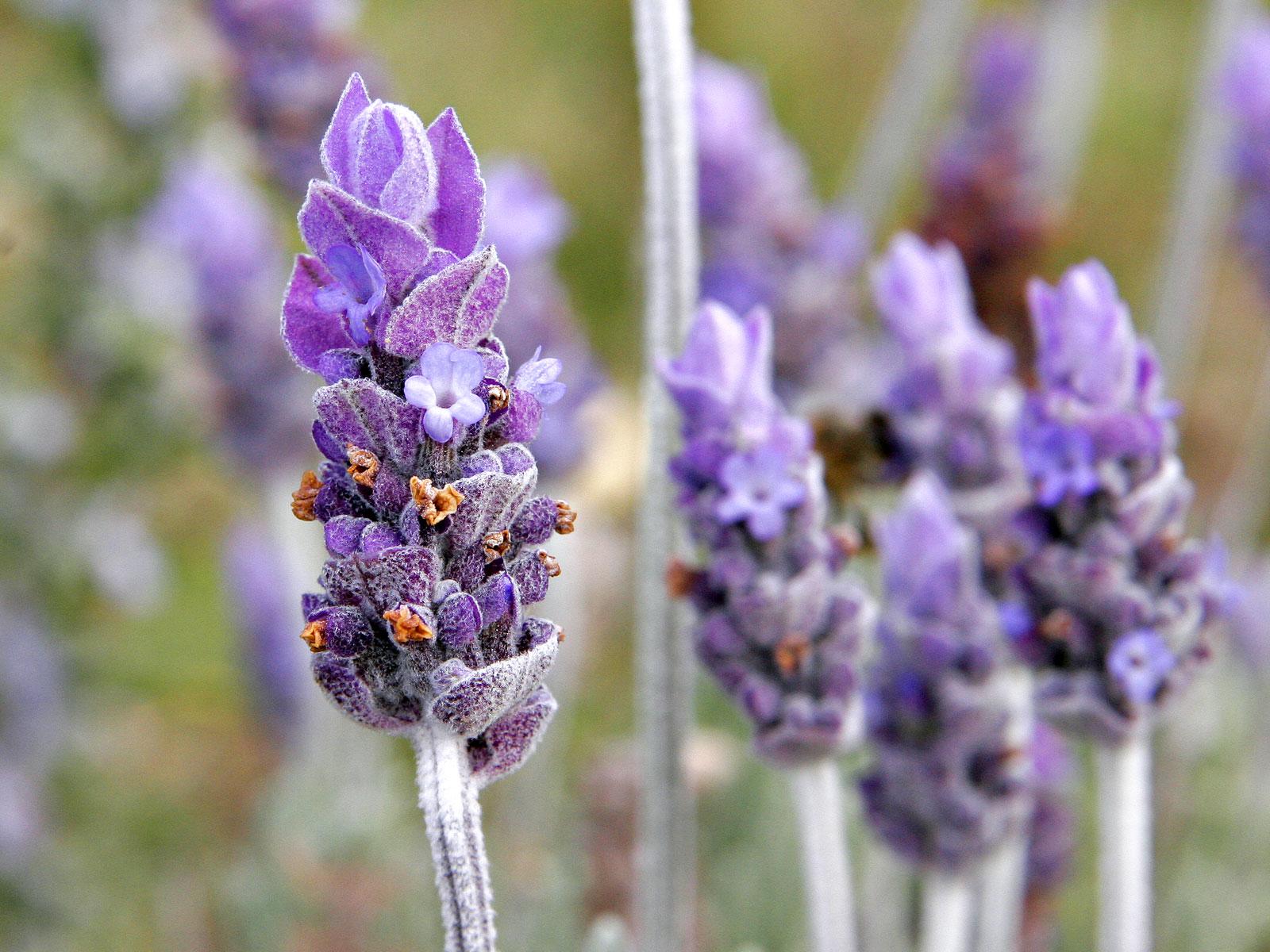 La lista de especies de la Lavanda  puede verse seg  250 n wikipedia a    Lavender Flower Close Up