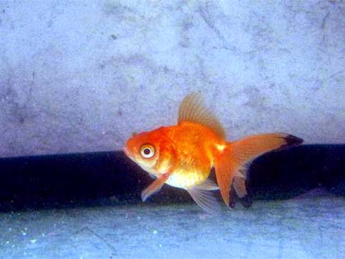 Goldfish Bully Too