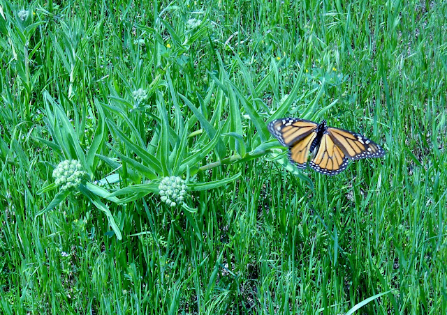 Monarch (Danaus plexippus) at White Rock Lake, Dallas, TX