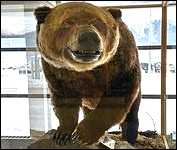 Smithers B.C. 1,012 Pound Hungry Hill Phantom Grizzly Bear