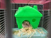 Foto Pemenang Lomba Hamster Gaya