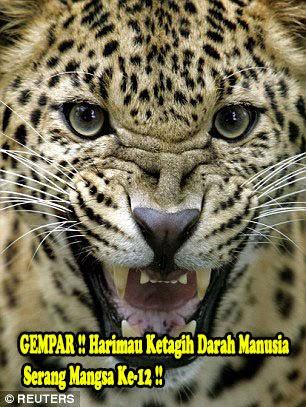 GEMPAR Harimau Ketagih Darah Manusia Serang Mangsa Ke 12