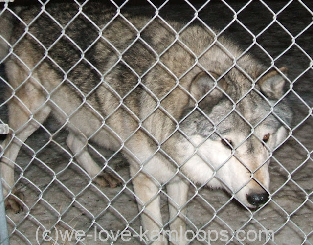 Wolf waiting for dinner at the fence