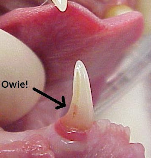 Feline resorptive lesion on a canine tooth