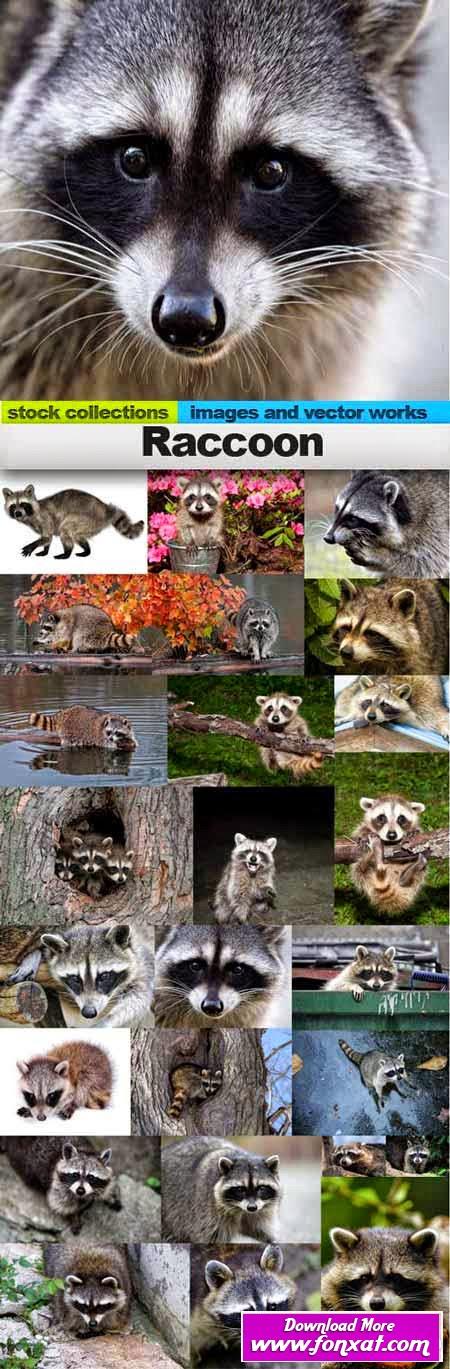 Raccoon,25 x UHQ JPEG