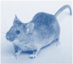 Photo of a house-mouse, with bright eyes, ears sticking up and tail waving