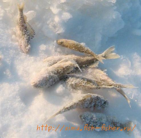 Ерши — одна из самых распространенных рыб