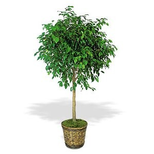 Order a Ficus Tree