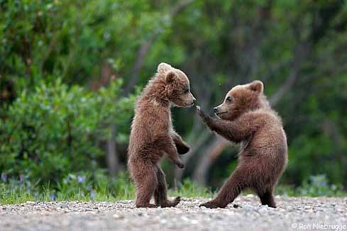 baby animals, cute animals, baby bear