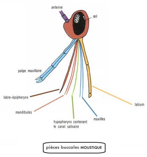 """Résultat de recherche d'images pour """"proboscis moustique"""""""