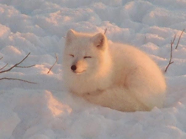 Funny animals of the week - 7 February 2014 (40 pics), snow fox curls up in snow