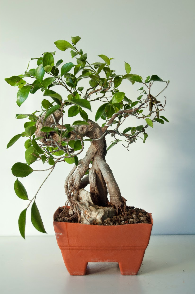 diario de un bonsai ficus cojo. Black Bedroom Furniture Sets. Home Design Ideas