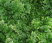 Spike Mosses or Selaginella