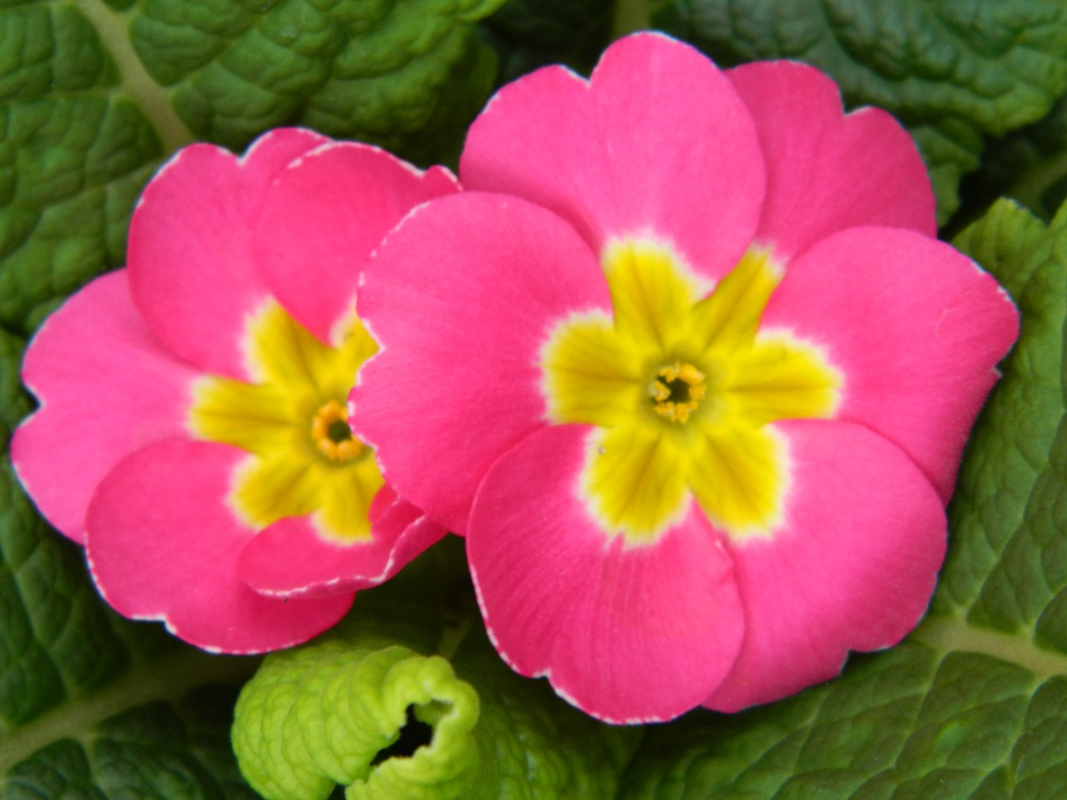 Allan Gardens Conservatory Easter Flower Show 2013 hot pink primula blooms by garden muses: Toronto gardening blog