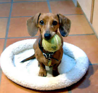 Cute Dachshund Puppy Pictures