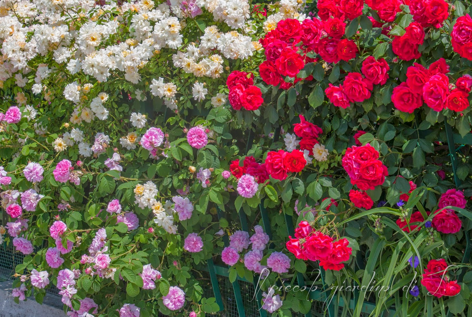 Il piccolo giardino di l il mio trittico di rose da recinzione