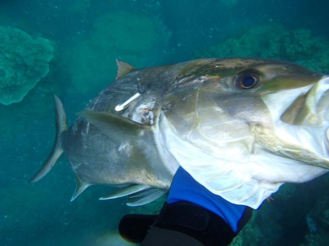 魚突き人 in 小笠原父島: ヒレナガカンパチ 80cm 弟島